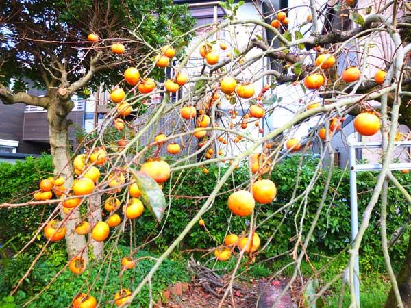 祖母の家の柿