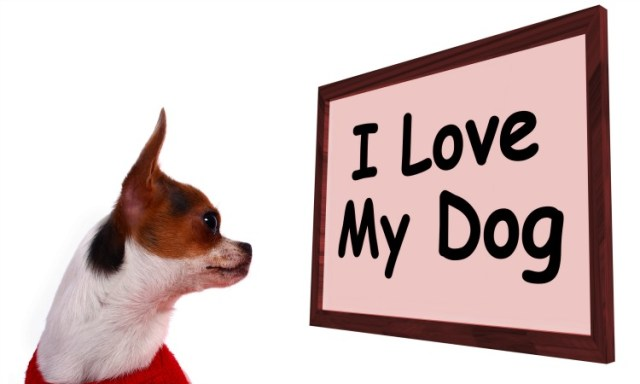 Cute Chihuahua Puppy Looking At A Blank Board Ready For A Message