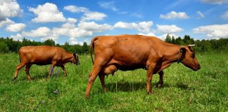 two cows at the green field against blue sky