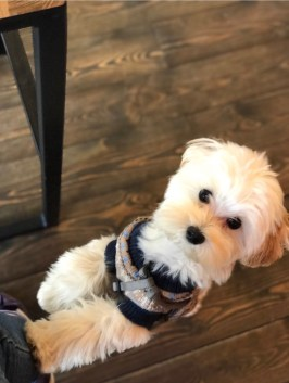 hitch-maltipoo-dog-51