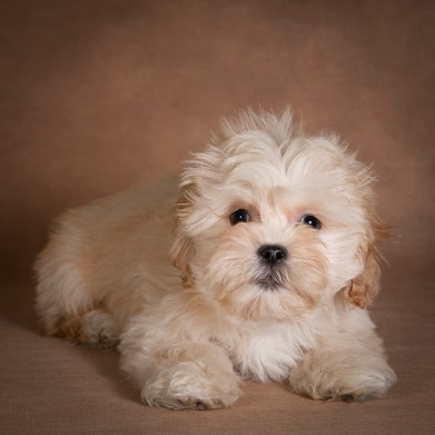 nick-maltipoo-dog-04