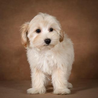 lev-maltipoo-dog-02