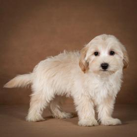 lev-maltipoo-dog-04