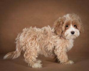 liana-maltipoo-dog-06