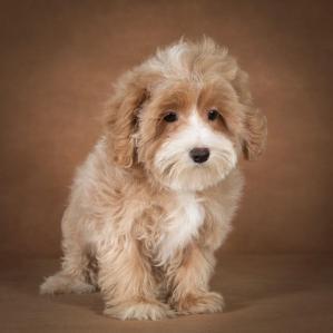 liana-maltipoo-dog-07