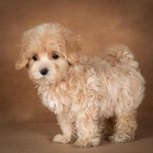 lisa-maltipoo-dog-04