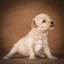 olesya-maltipoo-dog-04