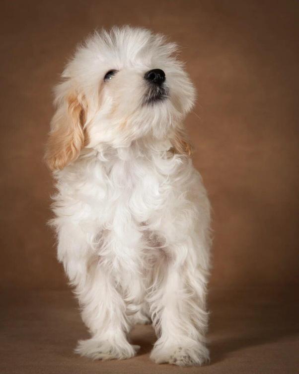 lavrenti-maltipoo-dog-03