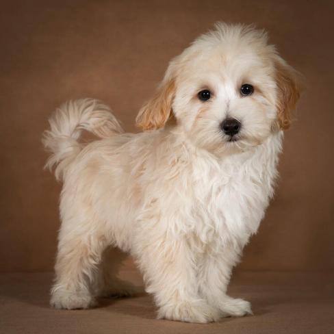 leopold-maltipoo-dog-07