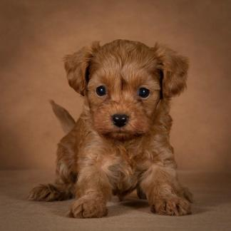 nelson-maltipoo-dog-02