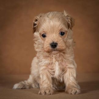 ofelia-maltipoo-dog-06