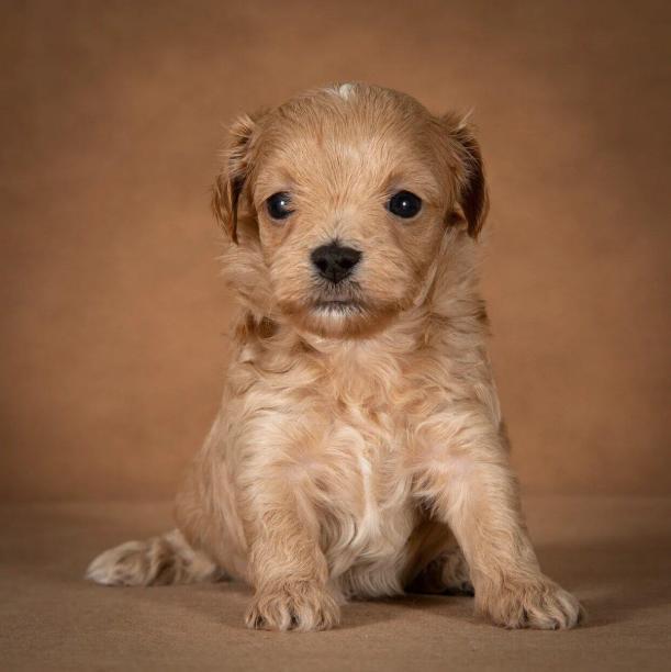 orphei-maltipoo-dog-06