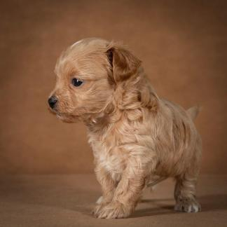 orphei-maltipoo-dog-08