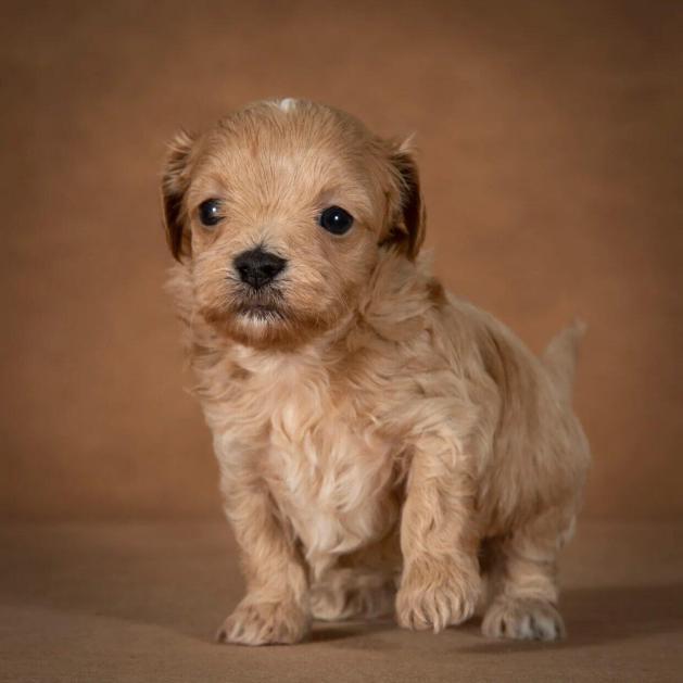 orphei-maltipoo-dog-12