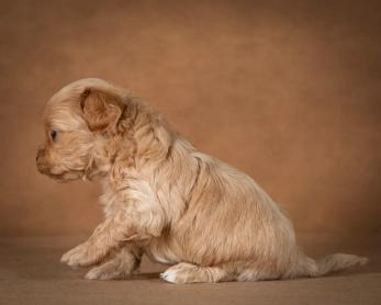 orphei-maltipoo-dog-13
