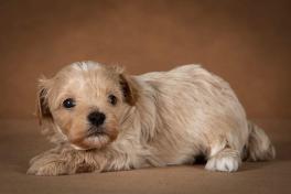 ostap-maltipoo-dog-07