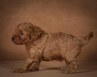 tayson-maltipoo-dog-05
