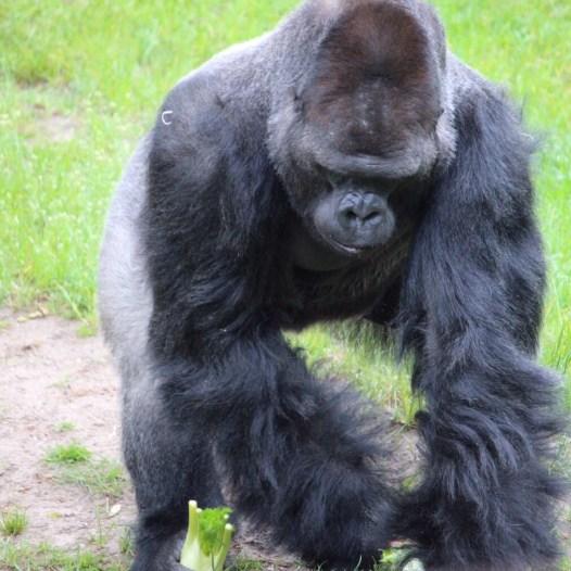 Zoo Berlin Gorilla