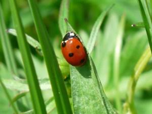 MArienkäfer Ladybug