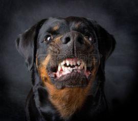 4709797-rottweiler-la-bambina-di-6-anni-su-sfondo-nero