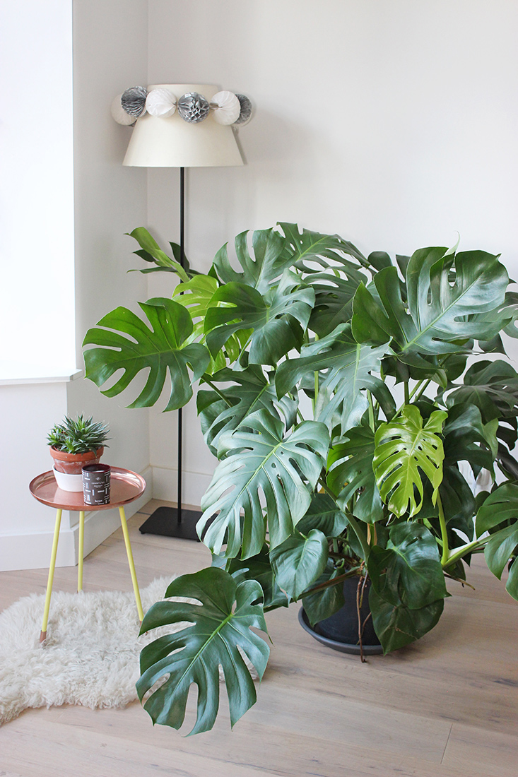 Quelle Plante D'intérieur Avec Un Chat Mes Plantes Monstera Deliciosa Mango And Salt