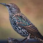 Bird A European Starling
