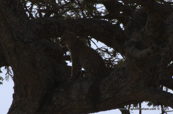 Cheetah in a tree, Serengeti National Park, Tanzania.