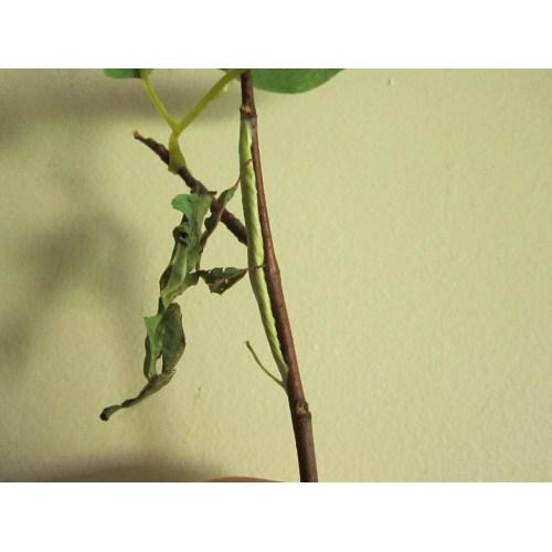 Medium Crop Of Praying Mantis Egg Sack