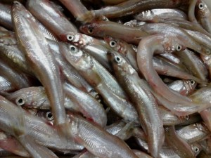 Fresh Smelt coming in this weekend!