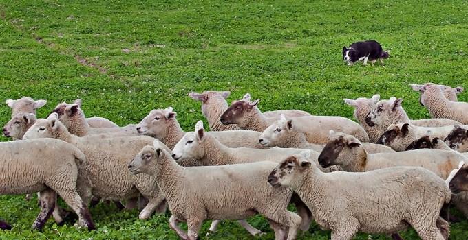 Anderson Ranches Oregon Grass fed Lamb
