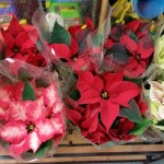 Plenty of fresh Poinsettias and flowers for this Christmas season!