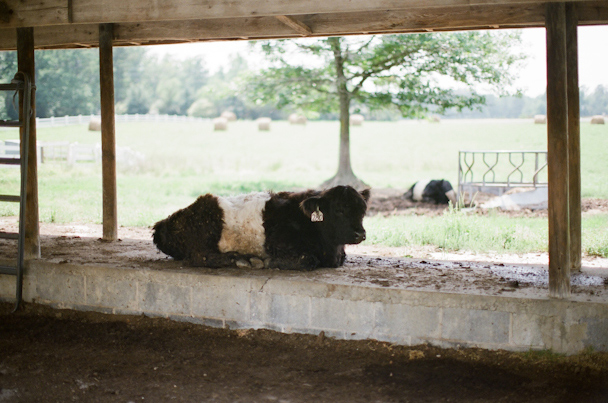 Fearrington Belties
