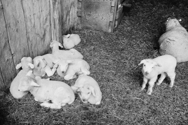 Wolfe's Neck Farm Lambs