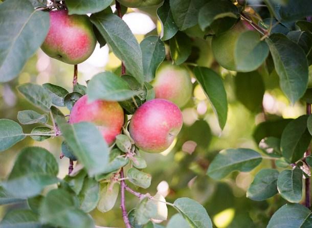 Apple Picking at Hansels Orchard North Yarmouth, Maine