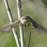 LBVI_ad-male-B_flying_thumb