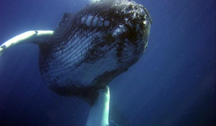 Ballena Jorobada en Oceano Abierto