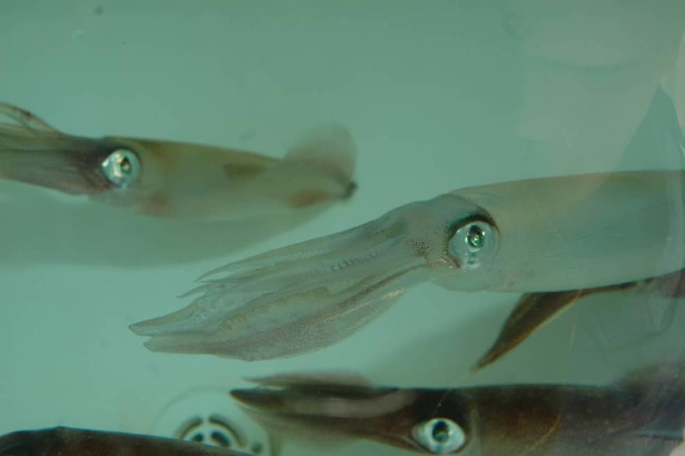Calamari appena catturati e mantenuti vivi in un'apposita vasca in barca