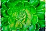 Thorn Lotus