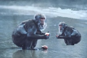 centesimo macaco