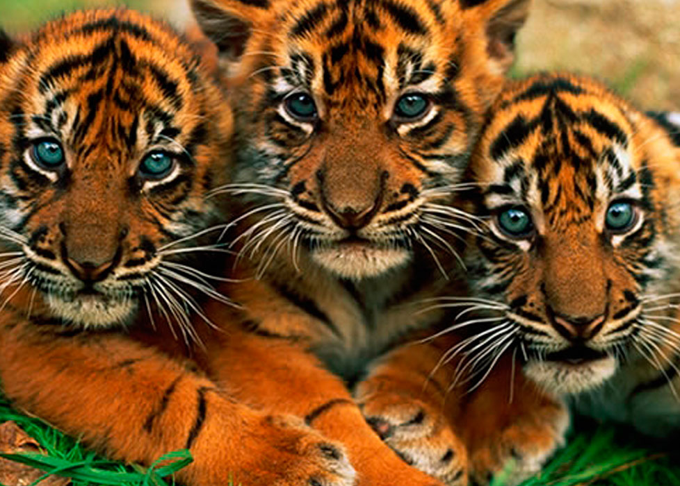 Jungle Animal Wallpaper 3 Tigres Son Devueltos A La Selva Mariela Tv