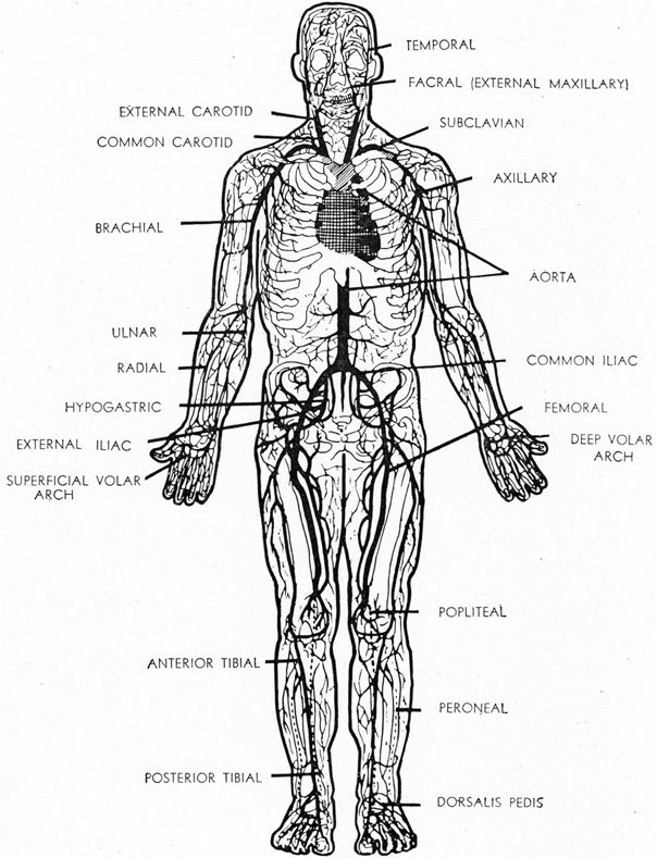 diagram of the head and torso showing relationship of the organs