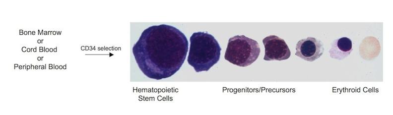 Project 1 Erythropoiesis and Beta-thalassemia