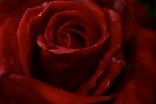 large-file-red-rose