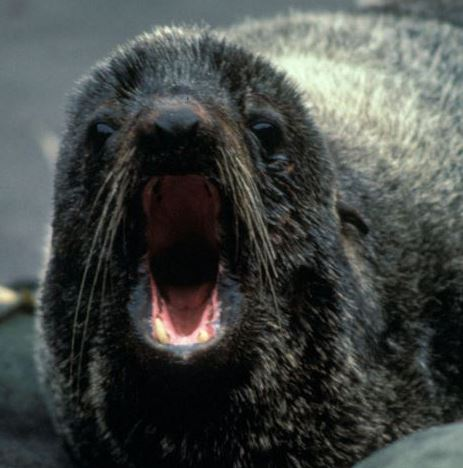 Man with fur seal bite given urgent attention in South Atlantic