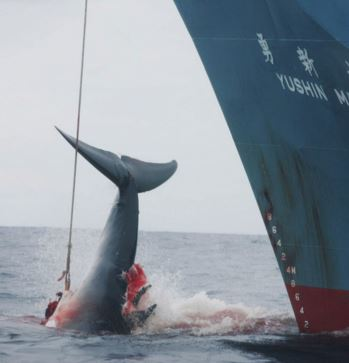 Japan resumes whaling in Antarctic – Australia and New Zealand criticize decision