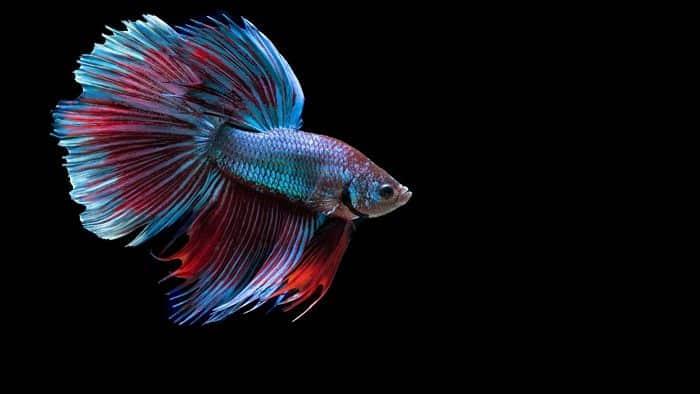 Fighter Fish Hd Wallpaper Download Peces De Agua Dulce 12 Especies Coloridas Para Tener En