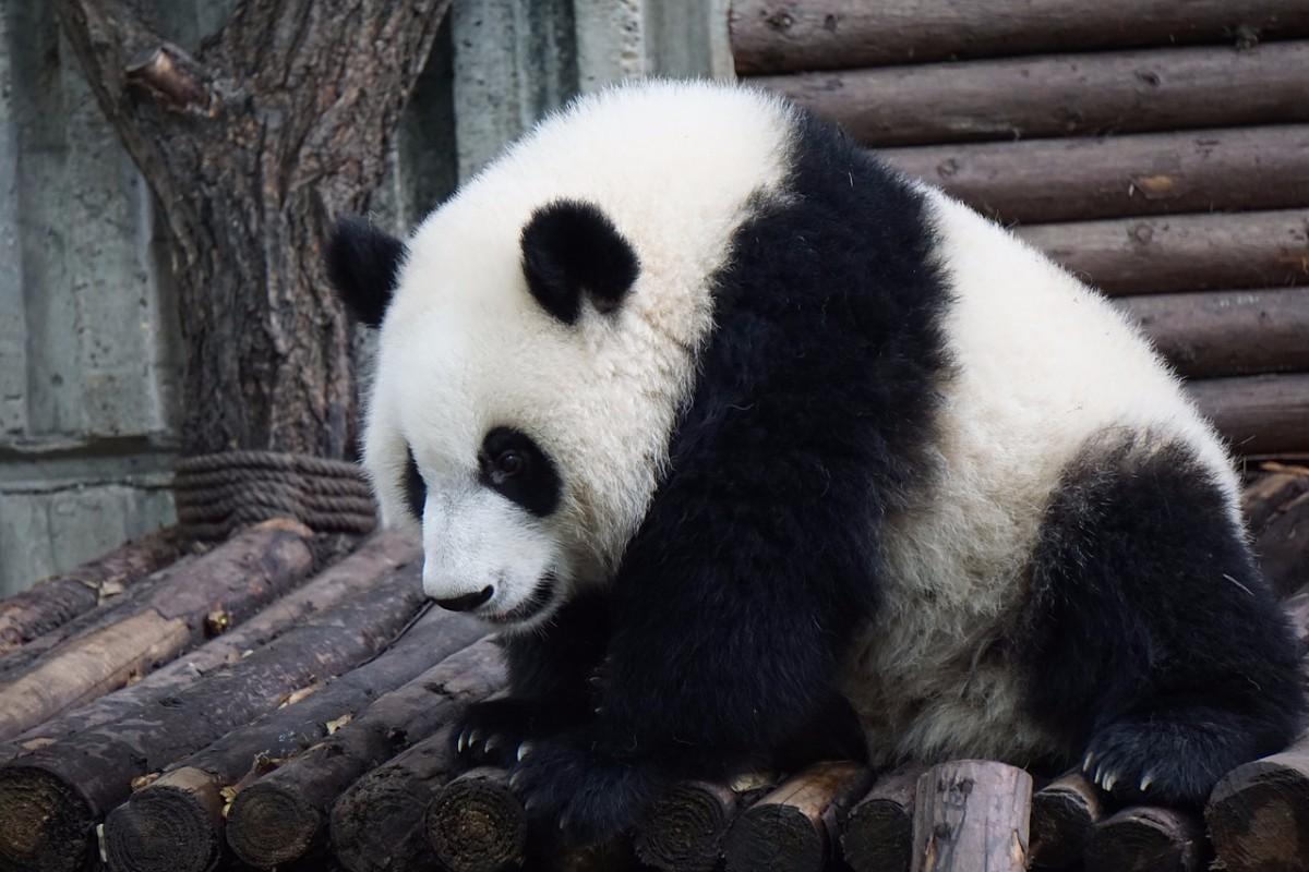 Cute Sleeping Babies Wallpapers 28 High Quality Free Cute Panda Wallpapers Hd Images