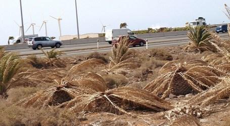 CC critica que el PP ha tardado más de 3 años en hacer un plan para salvar las palmeras