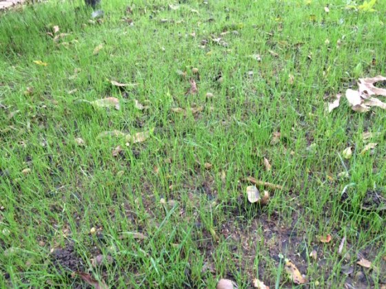 rye-grass-two-weeks