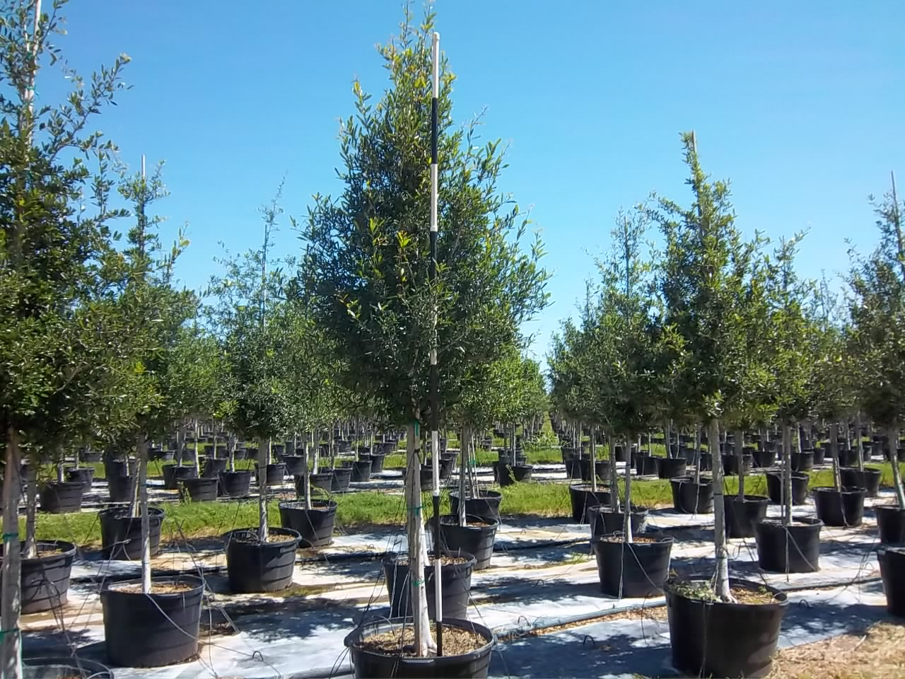 how to grow live oak trees from seed